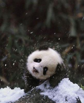 雪で大はしゃぎのパンダ親子01