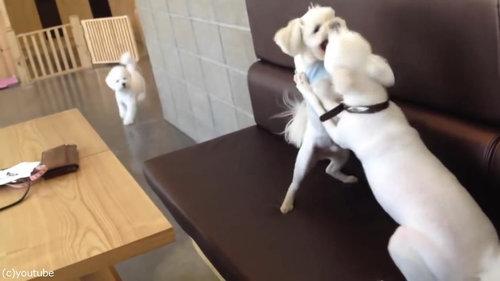 ケンカを始めた犬2匹と仲裁する1匹02