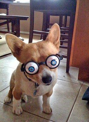 コーギー犬コスプレ05