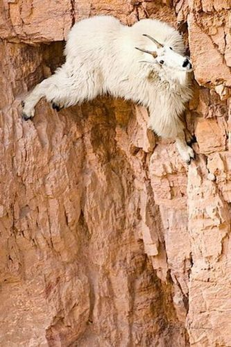 ヤギの崖を登る能力06
