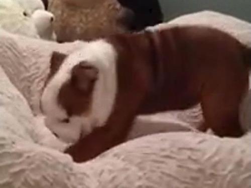 新しいベッドがお気に入りの子犬01