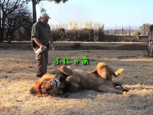野生を忘れたライオン