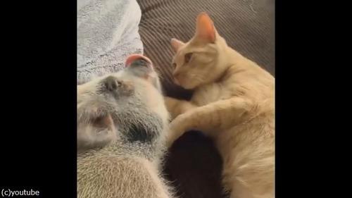猫がブタにお目覚めのチュウ01