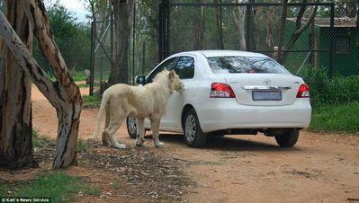 ライオンが車の扉を開けた01