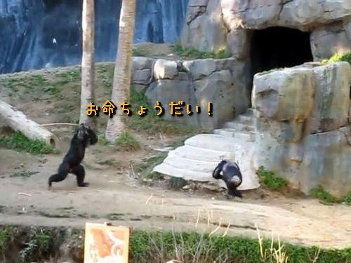 ちゃんばらチンパンジー01