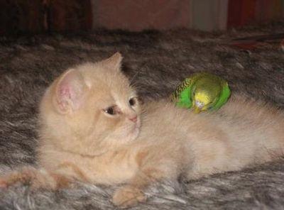 破壊力抜群の猫とインコ画像03
