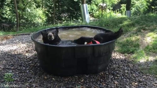 クマ、プールで涼む04