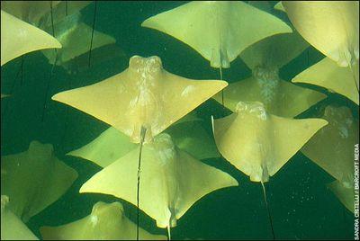 海面を幻想的に埋めつくす黄金のエイの大移動01