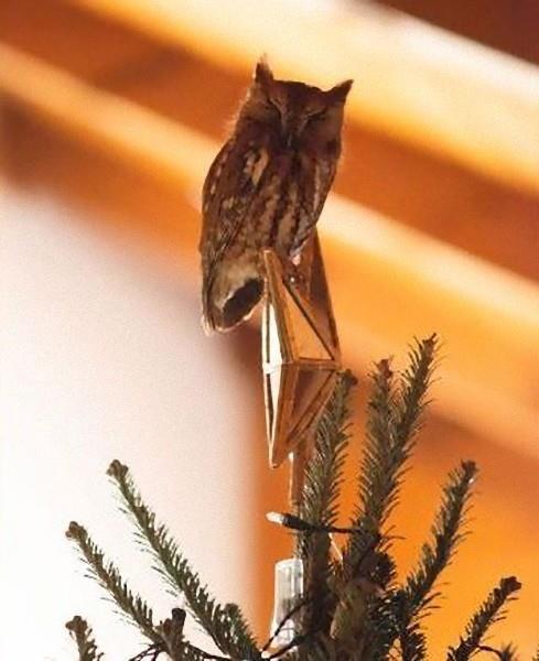 クリスマスツリーにフクロウ01
