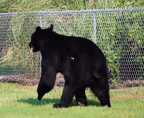 おぼれる熊を素手で助け出す02