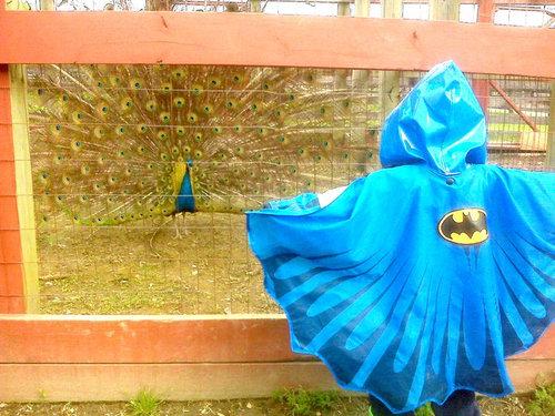 バットマンと孔雀の対決01
