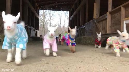 赤ちゃんヤギたちのパジャマパーティー02