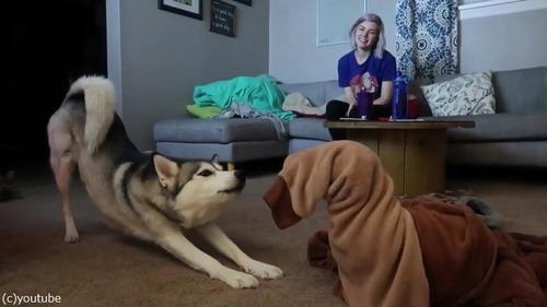 同居犬を助ける優しいハスキー01