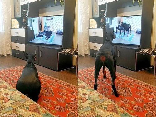 動画を見てエクササイズする犬01