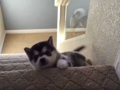 ハスキーの子犬と階段02