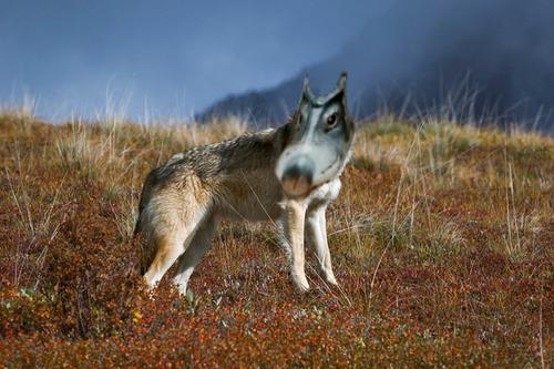 オオカミのクチバシをしたアヒル04