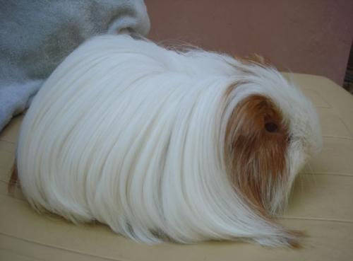 毛の長いモルモット05