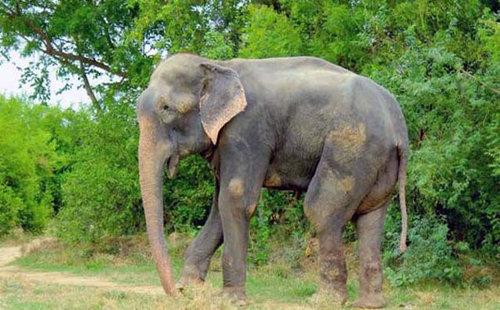 50年間インドで監禁されていたゾウが救出される07