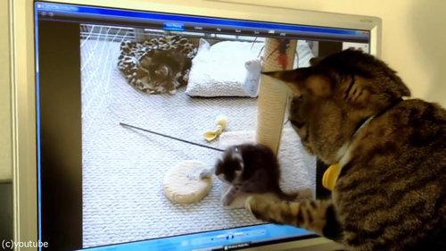 PC画面を見つめる猫01