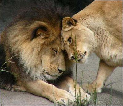 ライオン09