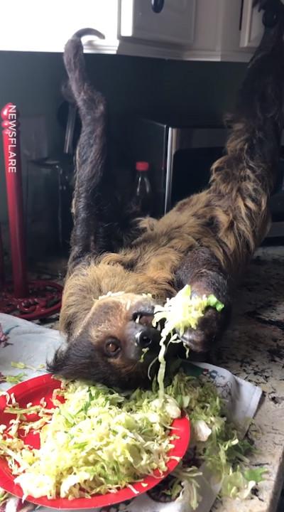 台所でサラダを食べるナマケモノ02