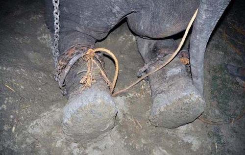 50年間インドで監禁されていたゾウが救出される04