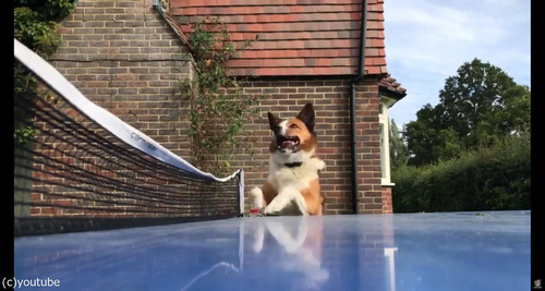 犬が卓球の審判をすると04
