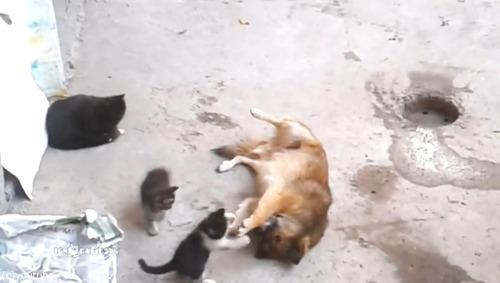 母猫が旧友の犬に会いにやって来た…子猫を連れて06