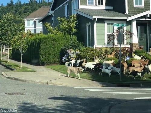 住宅地でヤギが大脱走すると03