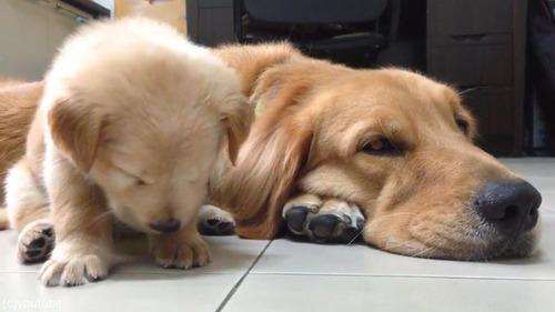 子犬が睡魔と格闘→あっさり負ける02