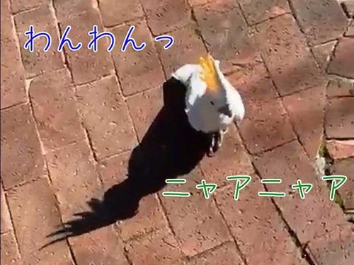 猫や犬の声で鳴くオウム00