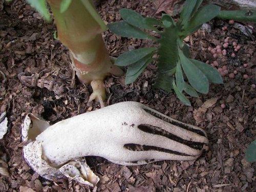 「死者の指」と呼ばれるキノコ05