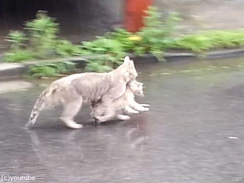 雨の日に子猫をくわえて走る母猫02