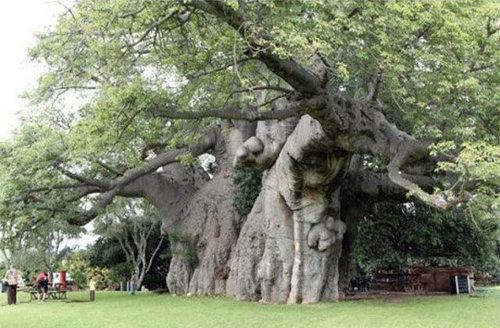 バオバブの木11