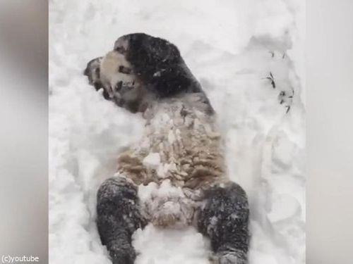 スミソニアン動物園のパンダ07