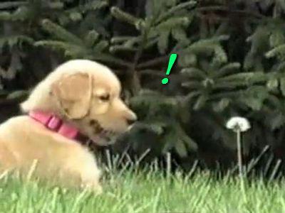 タンポポと戦う子犬