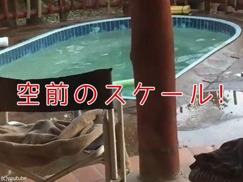 プールの水を飲む野生動物00