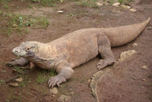 コモドドラゴンのケンカ00