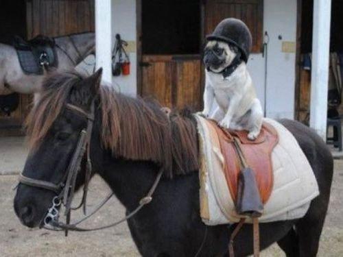 馬に騎乗する犬00