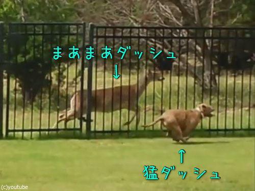 柵越しの犬と鹿00