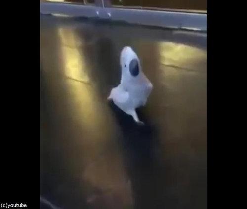 犬のように吠えるオウム04