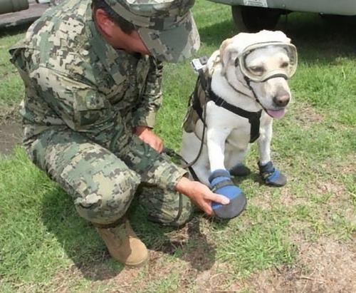メキシコ地震で52人を救った犬04