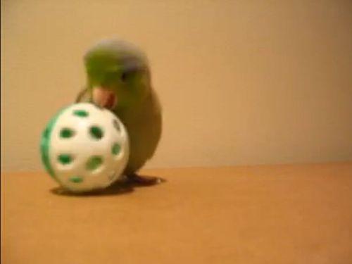 ボールが大好きな小鳥01