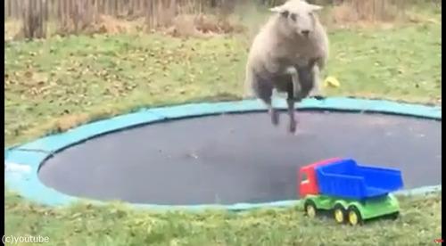 トランポリンで遊ぶ羊03
