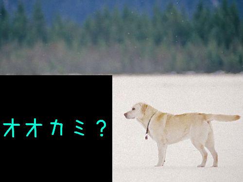 ラブラドールとオオカミ00