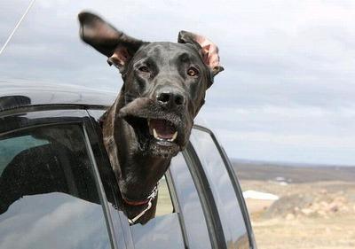 車の風と犬08