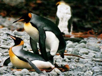 ペンギンの交尾