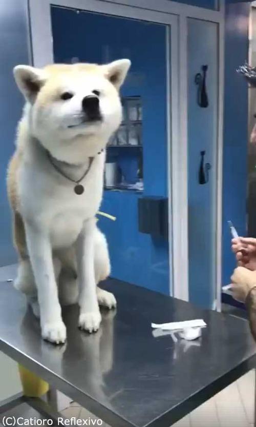 勇敢な秋田犬01