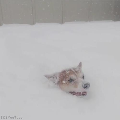 雪遊びコーギー04