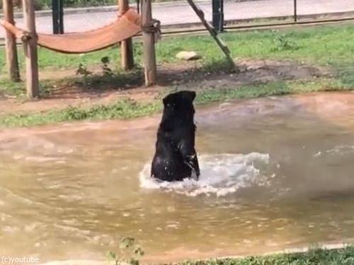 保護されたクマ、初めてのプール02